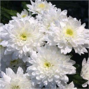 Chrysantheme absolue von Oshadhi