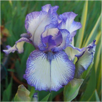 Iris-Wurzel 1% Ätherisches Öl Neumond