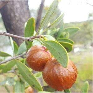 Australisches Sandelholz10% Ätherisches Öl Neumond